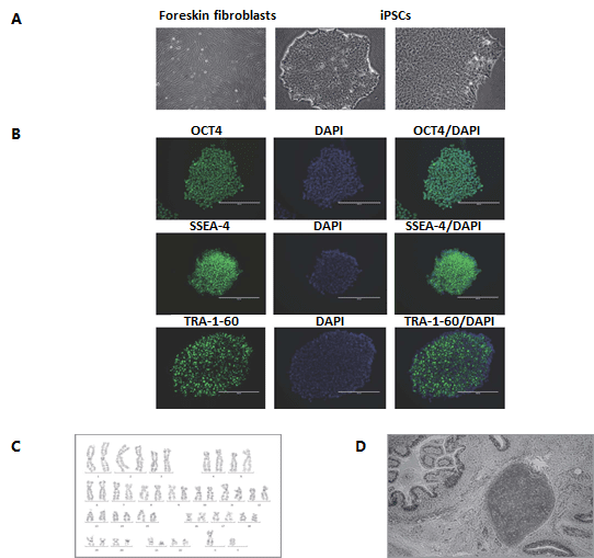Human-Pluripotent-Stem-Cell
