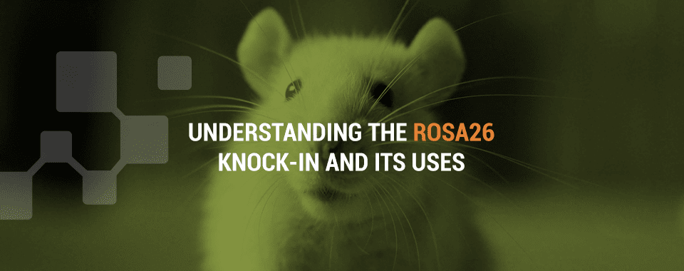 what is the rosa 26 knock-in